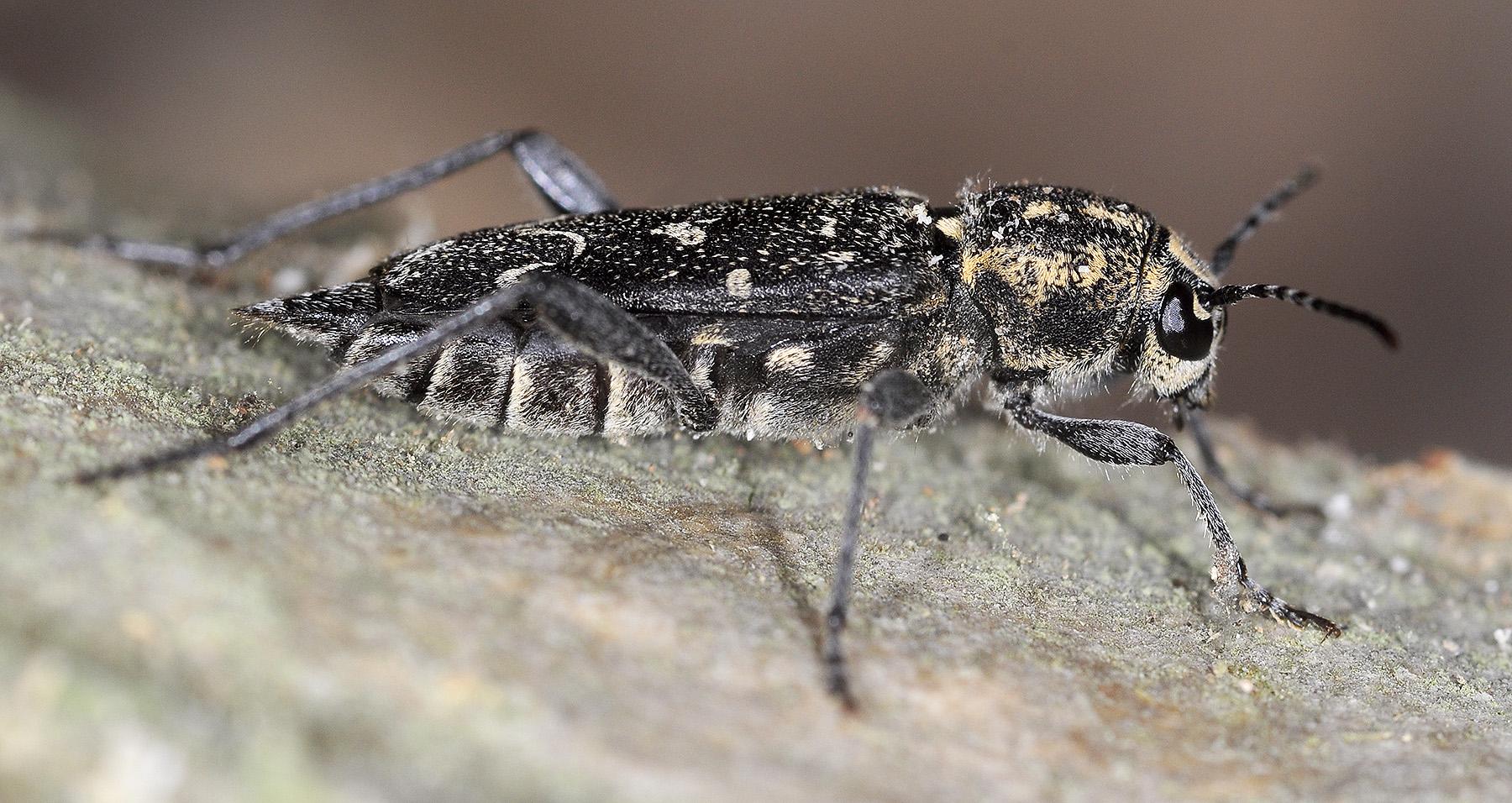 Xylotrechus rusticus